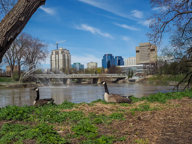 Geese Nesting by Thames River photo by Viliam Glazduri