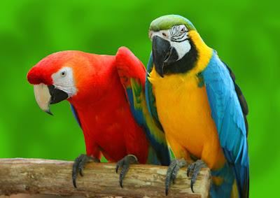 Pet Macaws Parrots Singapore