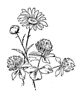 flower daisy clover wildflower image digital