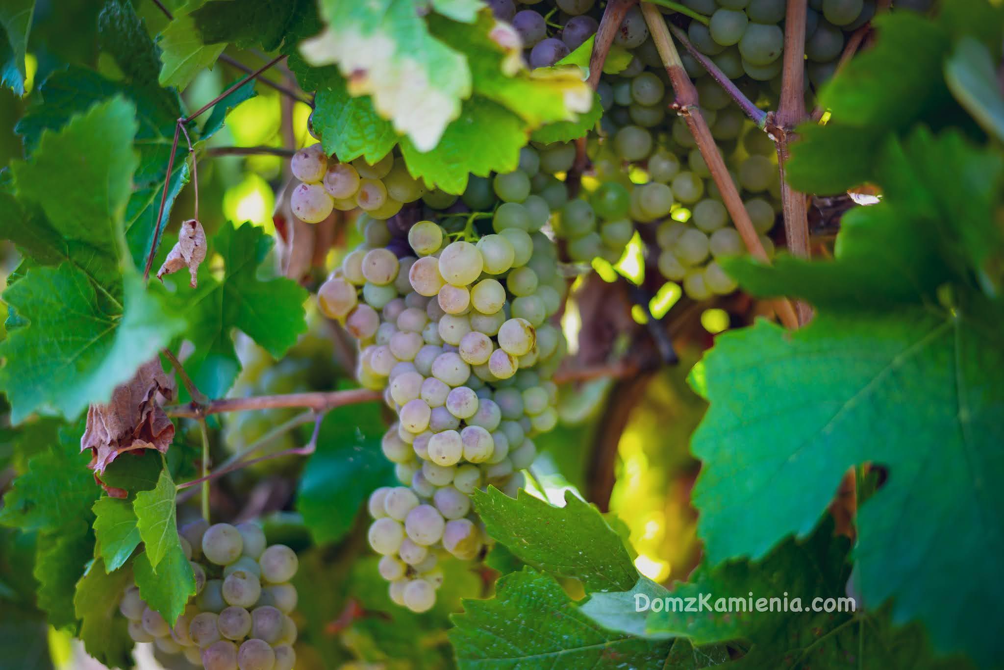 Dom z Kamienia, Toskania winobranie 2021