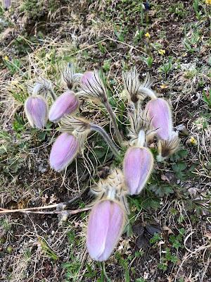 [Ranunculaceae] Pulsatilla spp.  – possibly P. montana.
