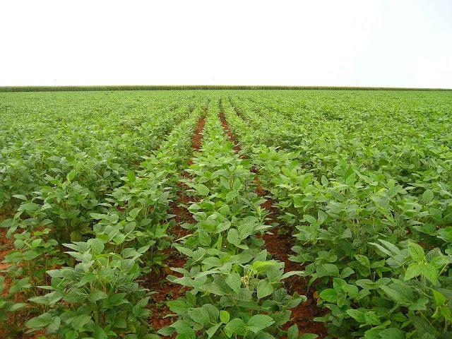 Plantação de soja no Brasil: OGM ou não é igualmente boa.