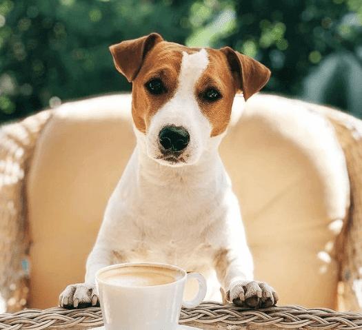 Jack Russell Terrier perro