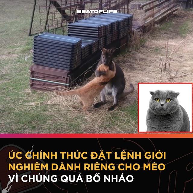 ÚC: Mèo phải ở nhà vì toàn oánh nhau với Kangaroo