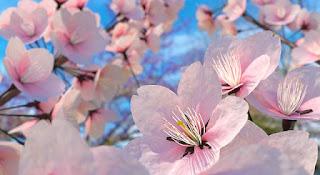 Bunga Sakura Terindah di Jepang Wallpaper