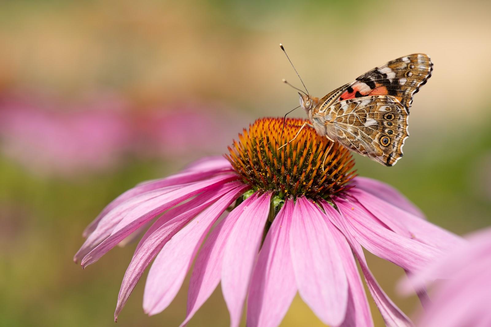 Perhospuutarha, amiraaliperhonen