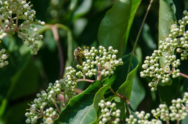 Еводија (Tetradium daniellii) – пчелно дрво