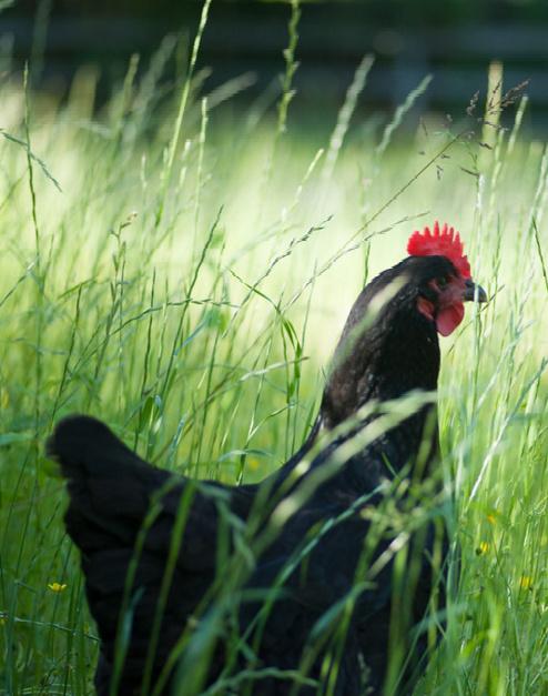 black hen in tall grass