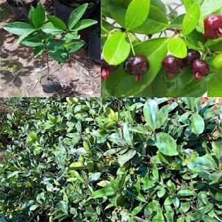 Cherry Brazil Tại Nhà vườn Khánh Võ - 2
