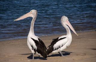 पेलिकन पक्षी - information about Pelican Birds.