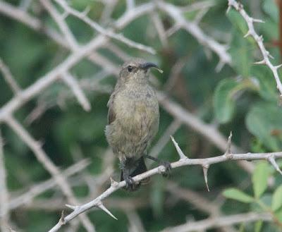 Palestine Sunbird (Cinnyris osea)