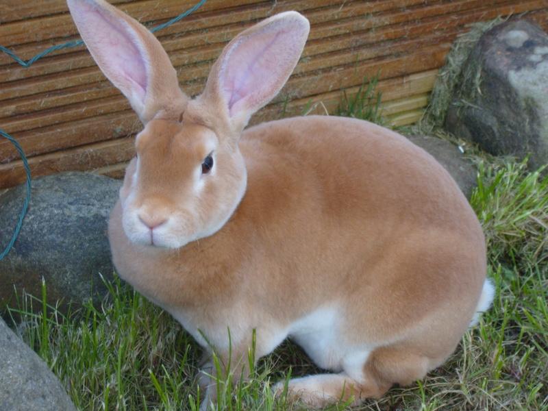Rabbit lovers farm Lamongan: JENIS-JENIS KELINCI (2)