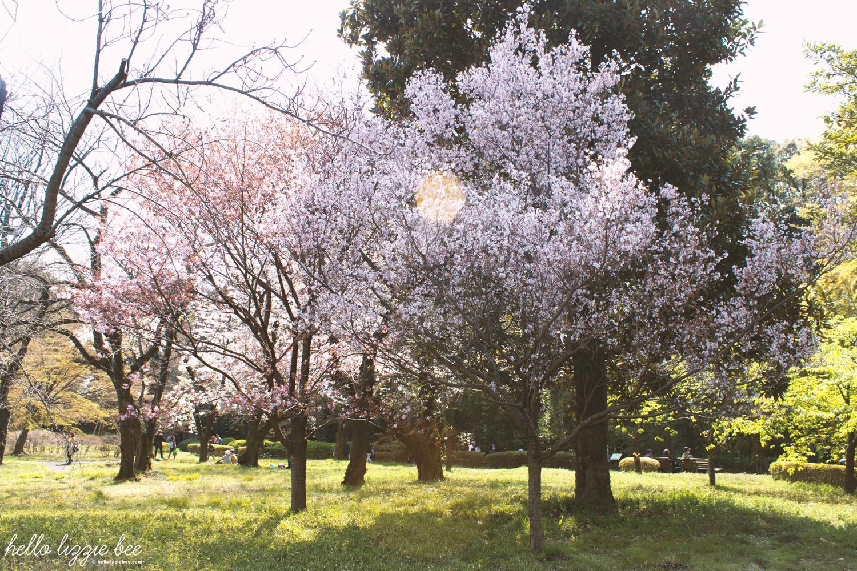 cherry blossoms, japan, sakura