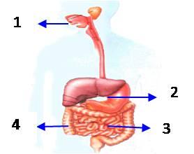 Enzim Pencernaan Macam dan Fungsinya