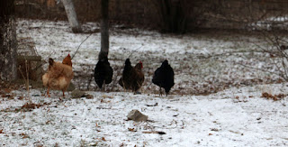 Four chickens running through the snow