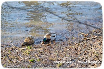 утки, кряквы, река, едят корм