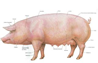 baixar download atlas de anatomia de suínos em pdf grátis