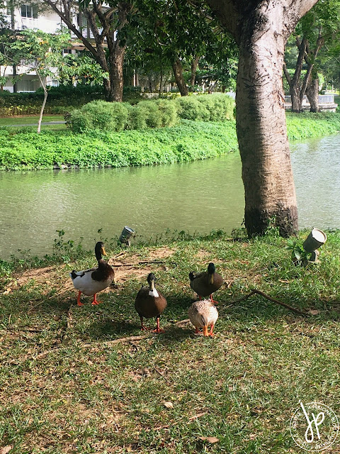 ducks, lake, grass