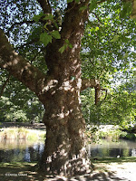Platanus tree - Christchurch Botanic Gardens, New Zealand