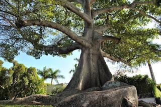 Pohon Unik Kapok Tree