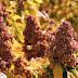 El regreso de la quinoa sagrada