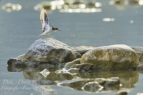 Flussuferläufer (Actitis hypoleucos) am Chiemen