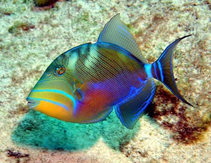 Queen TriggerfishUndulate Triggerfish