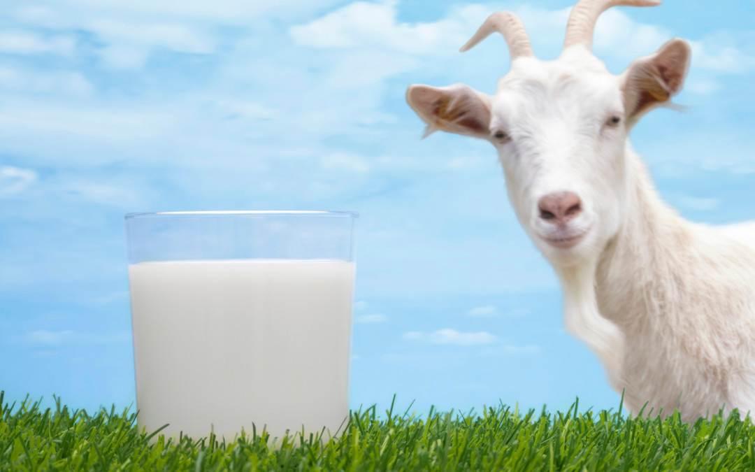 O Leite de Cabra Contém Lactose?