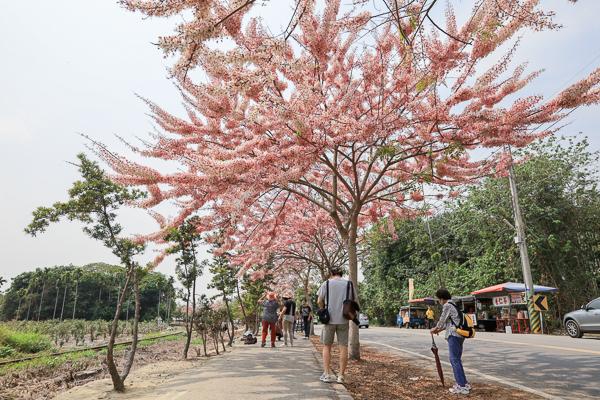 彰化二水源泉派出所粉紅花旗木盛開,和集集小火車同框美照好好拍
