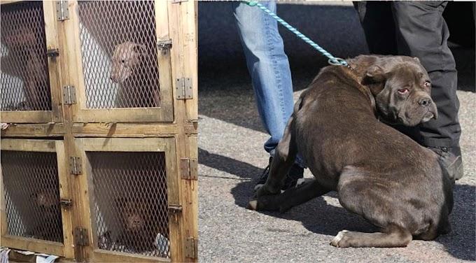 Rescatan 28 Pit Bulls de peleas drogados en el Alto Manhattan y Long Island; hallan narcóticos y armas