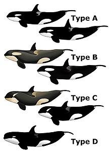 किलर व्हेल या ओर्का (Orcinus orca)