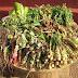 Registraran productos de hierbas Medicinales