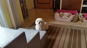 cão pulando degraus