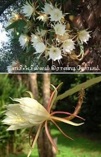Epiphyllum grandilobum flower
