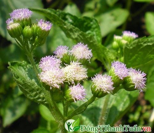Hoa ngũ sắc - Cách điều trị viêm mũi dị ứng hiệu quả