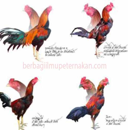 Cara Sederhana Beternak Ayam Bangkok Petarung Super ...