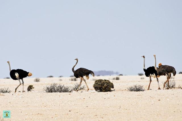 Avestruces por Namibia