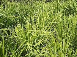 دراسة جدوى مشروع زراعة البونيكام بديل البرسيم بتكاليف 13000 فقط 2020 بالتفصيل