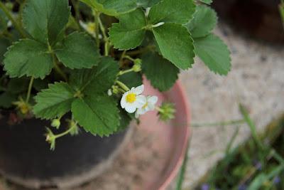 gambar bunga strawberry