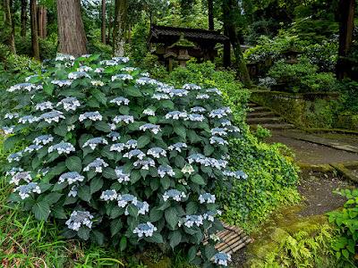 Ajisai (Hydrangea) flowers: Jyochi-ji