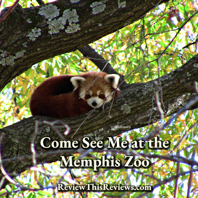 The Memphis Zoo Review - Red Panda Photo by Cynthia Sylvestermouse