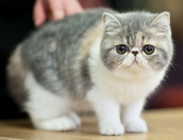 Contoh kucing exotic shorthair
