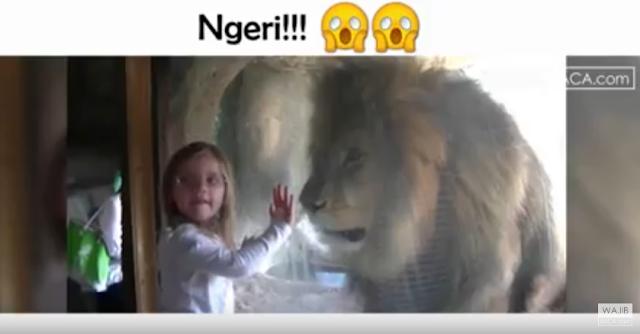 Ngeri!! Berhadapan dengan Singa Marah, Ini yang Didapatkan Gadis Kecil Itu