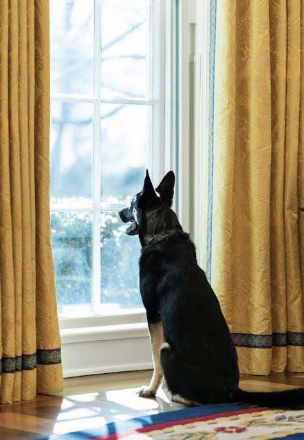 Major one of President Biden's 2 dogs looking out of the window of the Oval Office