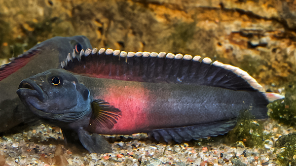 Africa's deadliest rapids give birth to new fish species