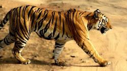 Tại sao không có hổ trong rừng rậm Châu Phi?