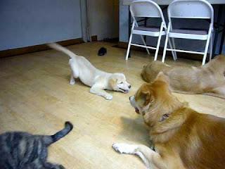 cães abaixados na frente