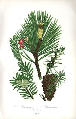 el texo que es planta buena. (Taxus Baccata, lo teix en chapurriau, la fon del teix está considerada com lo naiximén del riu Matarraña)