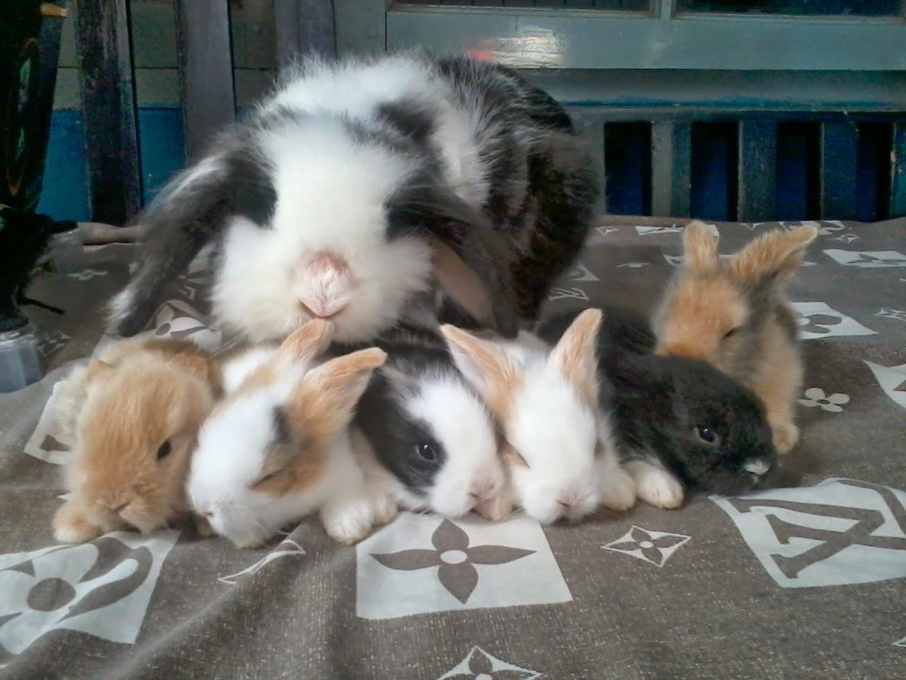 Fakta Unik Kelinci Uraniwa Rabbit