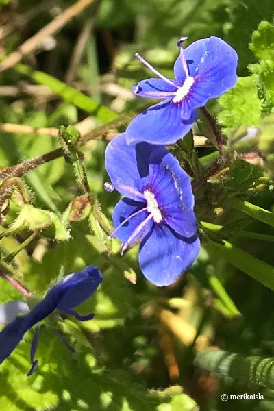 Pieni sininen, matala luonnonkukka
